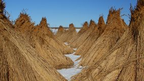 Piles of collected reed in the Danube Delta Royalty Free Stock Image