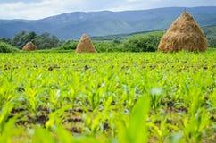 Piles de foin sur un champ de maïs Image stock