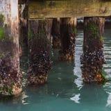 Piles en bois avec des coquillages dans le canal étroit de l'eau à Venise image libre de droits
