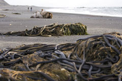 Piles of kelp Stock Images