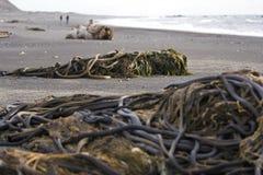 Piles of kelp Stock Images