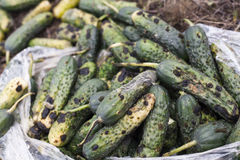 Piles of rotten cucumbers on the landfill Stock Image
