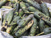 Piles of rotten cucumbers on the landfill Royalty Free Stock Photography