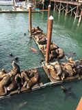 Piles of Sea Lions. Sleeping on the floating Royalty Free Stock Images