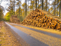 Piles of Timber in a Yellow Colored Larch Forest Stock Photography