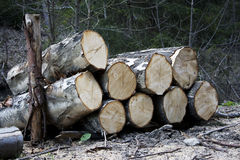 Piles of wood. In forest Stock Image