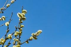 Pilfilialerna med gula fluffiga knoppar för blomningen i tidig vår i parkerar i fotoet på bakgrunden för blå himmel fotografering för bildbyråer
