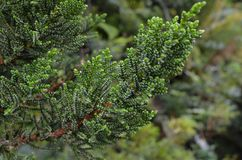 Pilgerodendron uviferum, or Ciprés de las Guaitecas, an endemic species to the Valdivian temperate rain forests of southern Chile. The Valdivian temperate Royalty Free Stock Image