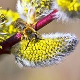 Pilget (Salixcaprea L ) och bi Arkivfoto