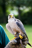 Pilgrim Falcon. At the hand of his keeper Stock Image