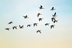 Pilgrim geese in flight Stock Photography