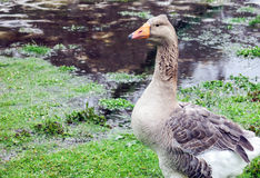 Pilgrim Goose Royalty Free Stock Images