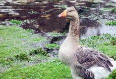 Pilgrim Goose. Pilgrim or Australian Settler Goose in the rain royalty free stock images