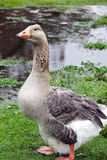 Pilgrim Goose Royalty Free Stock Photos