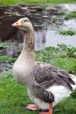 Pilgrim Goose. Pilgrim or Australian Settler Goose in the rain royalty free stock photos
