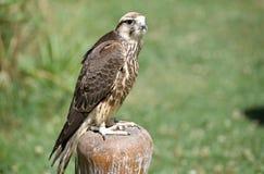 Pilgrim hawk on timber pile Stock Image