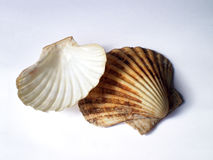 Pilgrim's scallops shells Stock Photo