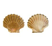 Pilgrim seashell Stock Photo