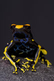 Pilgroda/Dendrobates tinctorius Arkivbild