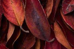 Pilha da obscuridade - folhas do vermelho Rich Vibrant Vivid Crimson Color Valentim da forma da queda da ação de graças Cartão do imagens de stock royalty free