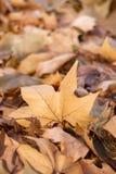 Pilha das folhas caídas amarelas com fundo borrado Fundo da folha do outono com borrado para trás imagem de stock royalty free