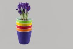 Pilha de vasos de flores coloridos e de açafrão roxo Espaço para o texto Imagem de Stock Royalty Free