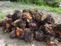 Pilha do fruto de óleo da palma Fotografia de Stock Royalty Free