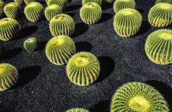 Pilha do grusonii de Echinocactus, cacto típico de hemis do sul Imagens de Stock Royalty Free