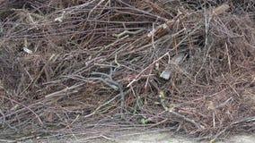 Pilha do ramo de árvore, da vara de madeira e do gabage Ramos de árvore secos - desperdício da indústria da madeira filme