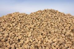 Pilha do sugarbeet no campo Fotografia de Stock