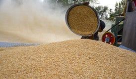 Pilha do trigo & do trigo da colheita Fotos de Stock