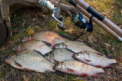 Pilha dos peixes comuns da brema, de peixes crucian ou de Carassius, barata Imagem de Stock