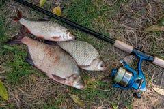 Pilha dos peixes comuns da brema, de peixes crucian ou de Carassius, barata Fotos de Stock