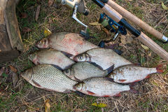 Pilha dos peixes comuns da brema, de peixes crucian ou de Carassius, barata Fotos de Stock Royalty Free