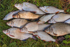 Pilha dos peixes comuns da brema, peixe crucian, peixes da barata, f desolado Fotos de Stock Royalty Free
