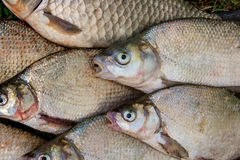 Pilha dos peixes comuns da brema, peixe crucian, peixes da barata, f desolado Imagem de Stock