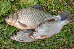 Pilha dos peixes comuns da brema, peixe crucian, peixes da barata, f desolado Imagens de Stock