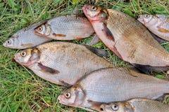 Pilha dos peixes comuns da brema, peixe crucian, peixes da barata, f desolado Fotos de Stock