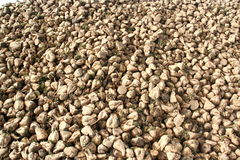 Pilha enorme das beterrabas, França Fotos de Stock Royalty Free