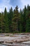 Pilha grande de troncos de árvore maciços ao lado da floresta durante o outono foto de stock