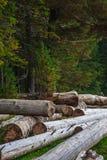 Pilha grande de troncos de árvore maciços ao lado da floresta durante o outono imagem de stock royalty free