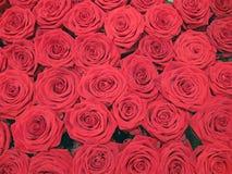 Pilha vermelha das rosas, conceito da natureza, Imagens de Stock Royalty Free