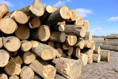 Pilhas de árvores para a expedição ao moinho Foto de Stock