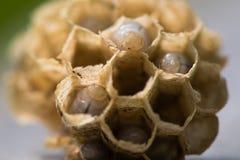 Pilhas sextavadas com as larvas do Vespula da vespa comum vulgar fotografia de stock
