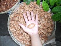 Pili Nuts Fotografia Stock Libera da Diritti