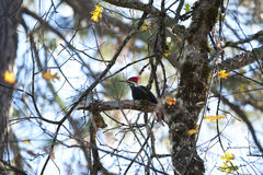 Piliated woodpecker, foraging in oak tree, Calif. Royalty Free Stock Photo