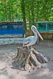 Pilican at the zoo Royalty Free Stock Photography