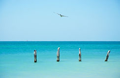 Pilier de plage de Higgs, oiseau, mouette, cormoran, enjeux en bois, mer, Key West, clés Photo libre de droits