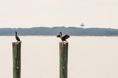 Two Sea Birds on Pilings Royalty Free Stock Photography