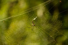 Pilipes dorati femminili di Nephila del Web spider Fotografia Stock